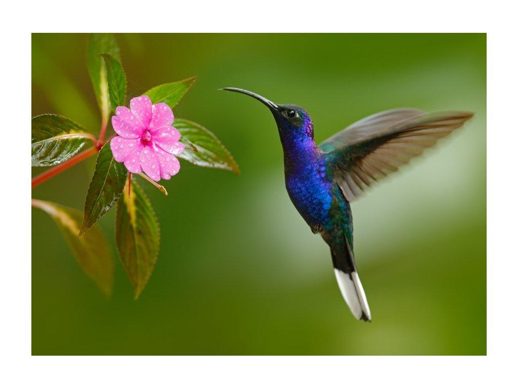 Pohlednice Kolibřík fialkový