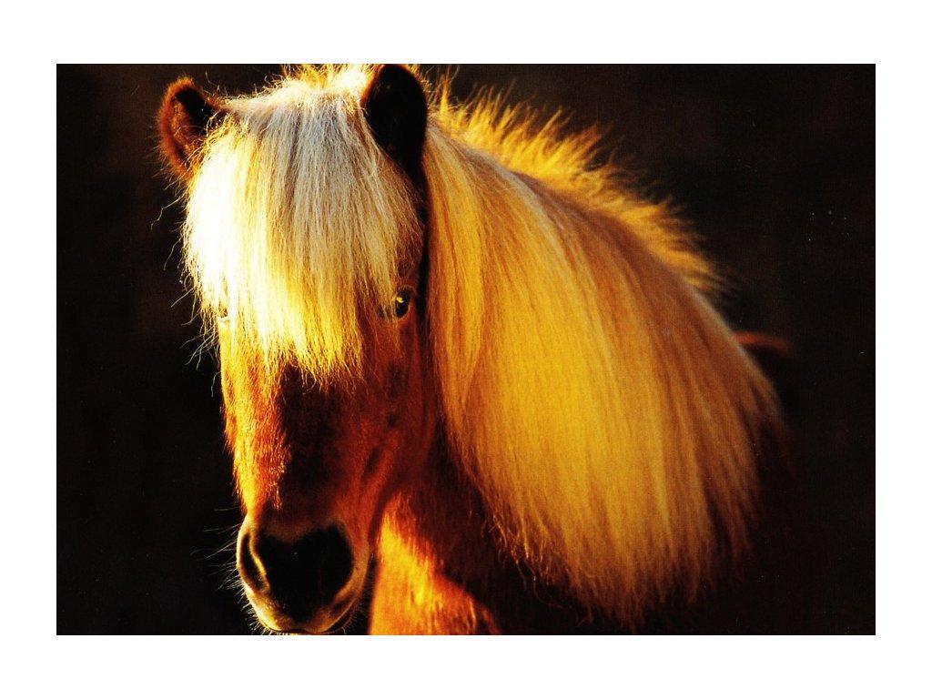 Pohlednice Islandský kůň