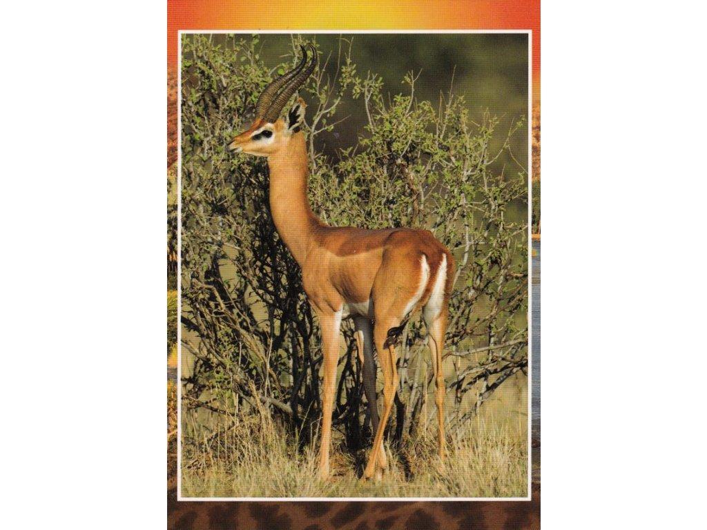 Pohlednice antilopa