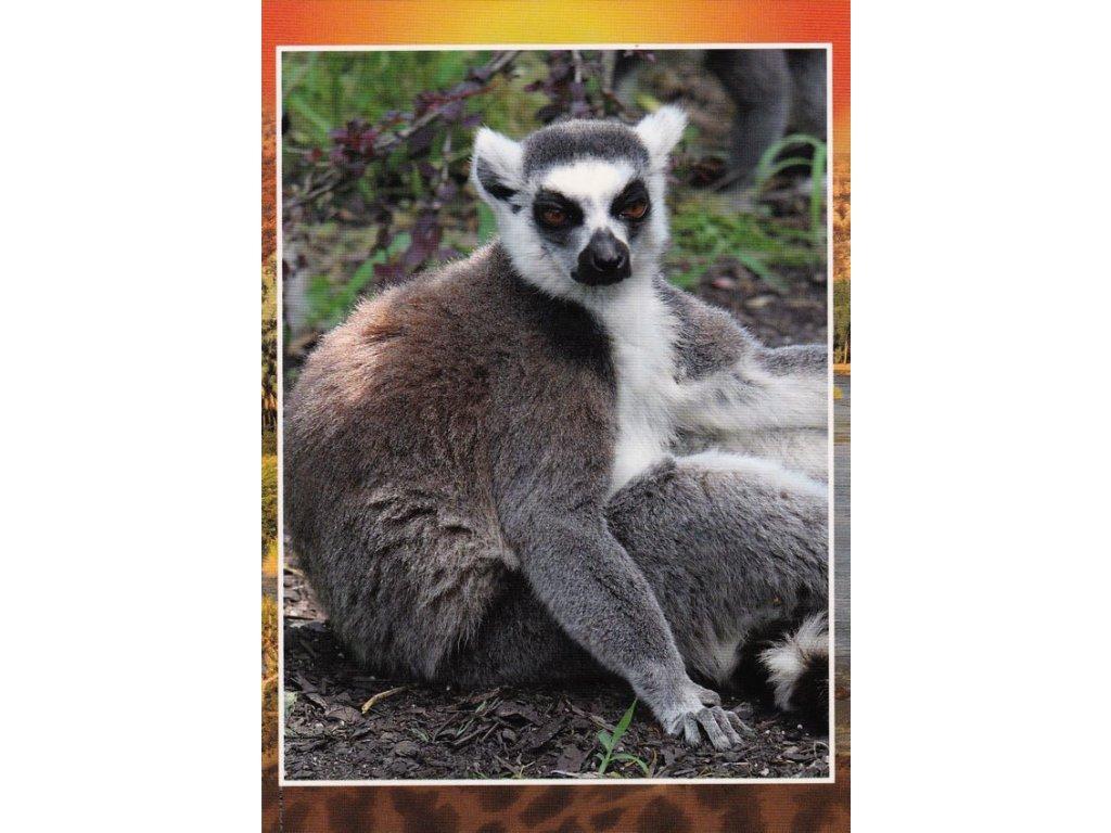 Pohlednice Lemur kata