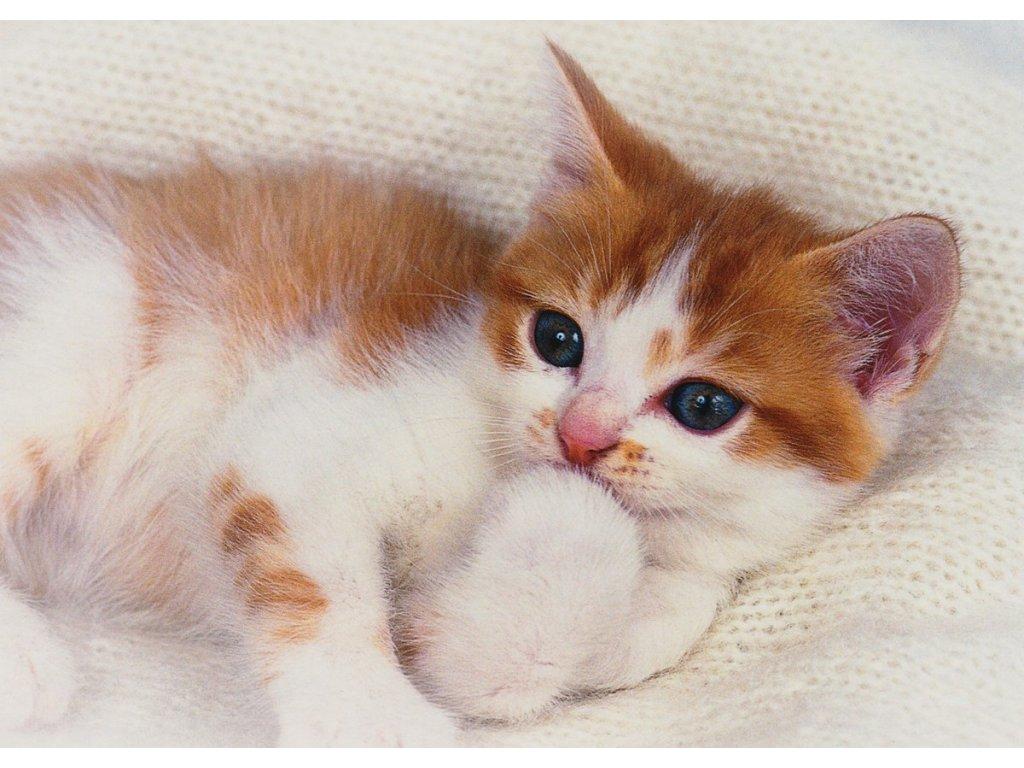 Pohlednice kočka 2