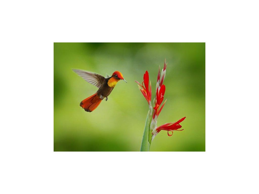 Pohlednice Kolibřík