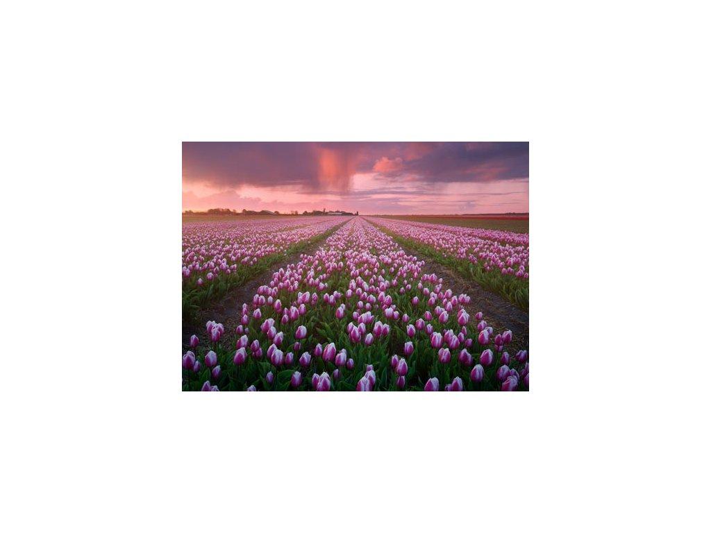 Pohlednice Tulipánová pole