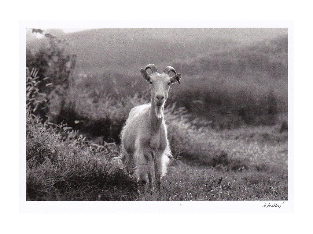 Pohlednice koza