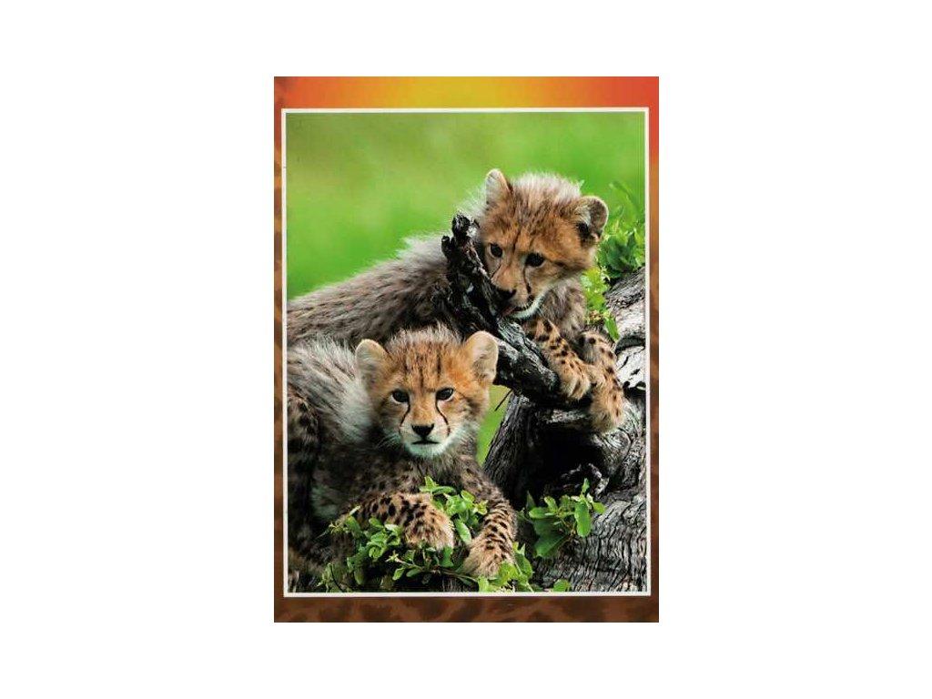 Pohlednice Gepardi