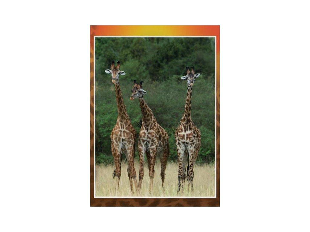 Pohlednice Žirafy