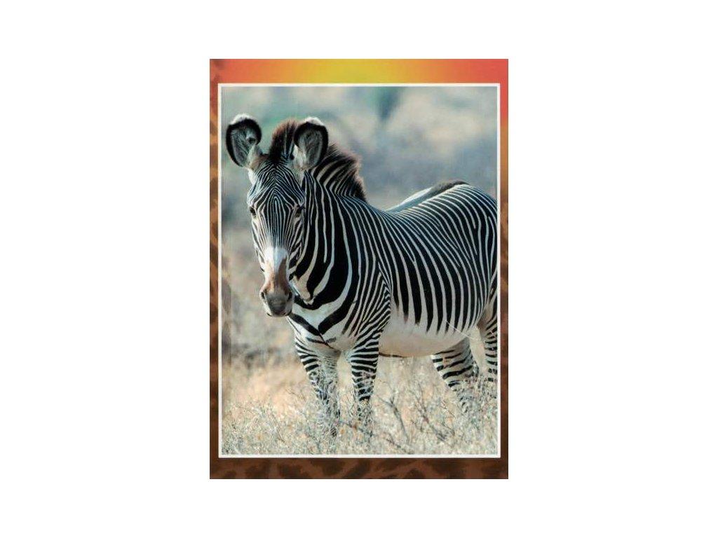 Pohlednice Zebra