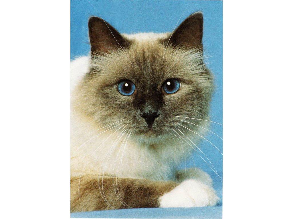 Pohlednice Kočka 16