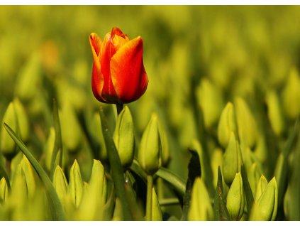 Pohlednice Červený tulipán