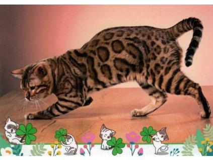 Pohlednice Kočka 77
