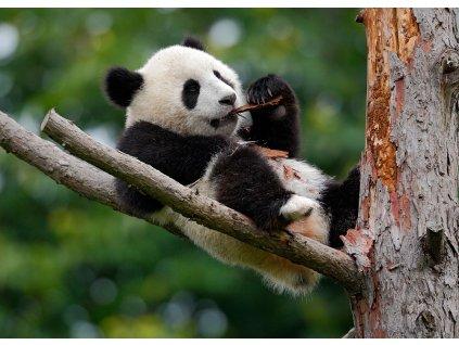Pohlednice Panda velká