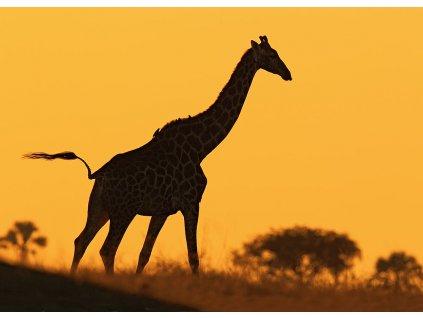 Pohlednice Žirafa angolská