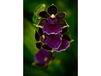 Pohlednice Orchidej