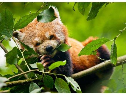 Pohlednice Panda červená