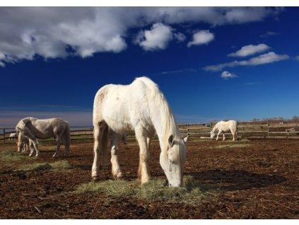 Pohlednice Camargský kůň 2