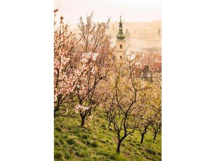 Pohlednice Rozkvetlý Petřín