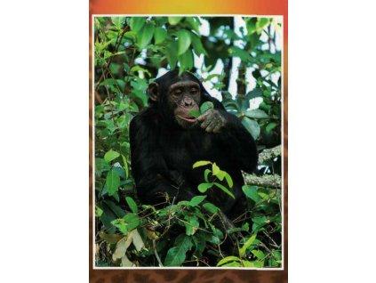Pohlednice Šimpanz