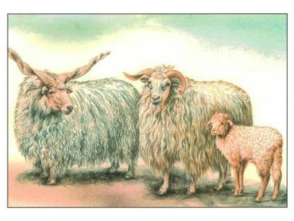 Pohlednice Ovce cápová