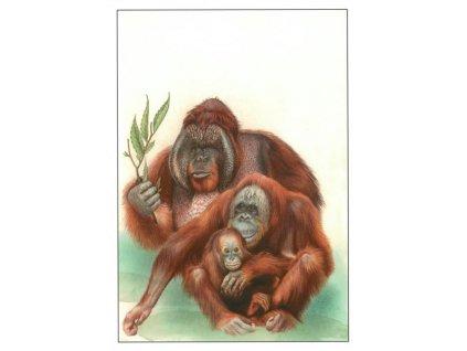 Pohlednice Orangutan bornejský
