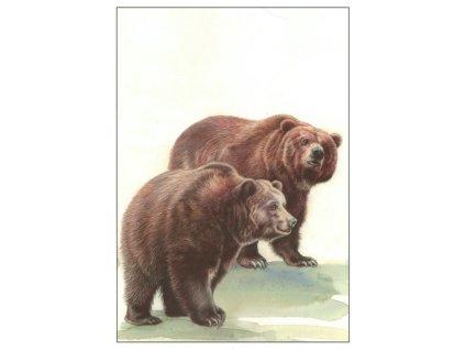 Pohlednice Medvěd hnědý grizzly