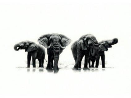 Pohlednice Sloni afričtí
