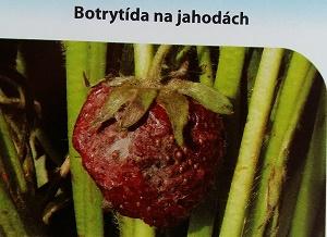botrytida