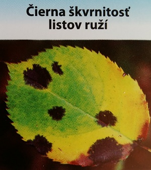 ruza2