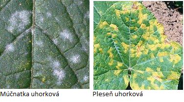 uhorka.chor