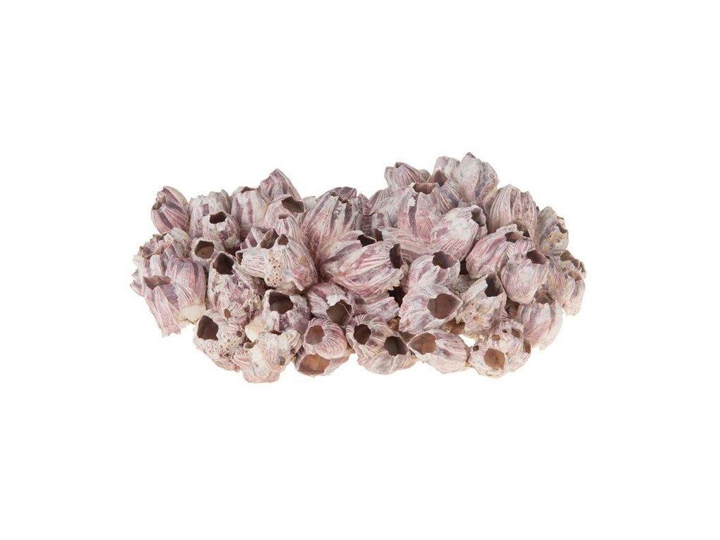 0011195 koral morsky velky barnacle