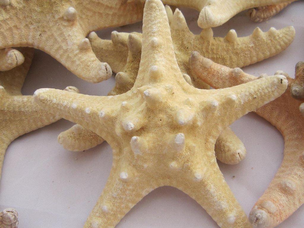 0009885 morska hvezdice prirodni 1 ks