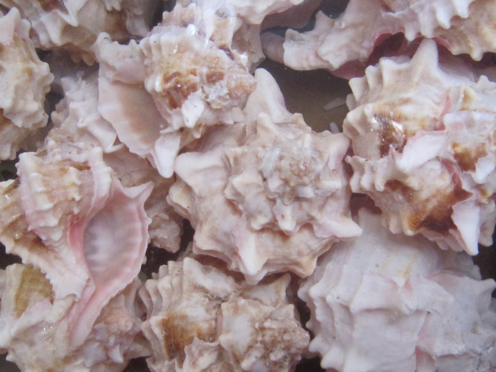 0006822 musle murex pink 500 g