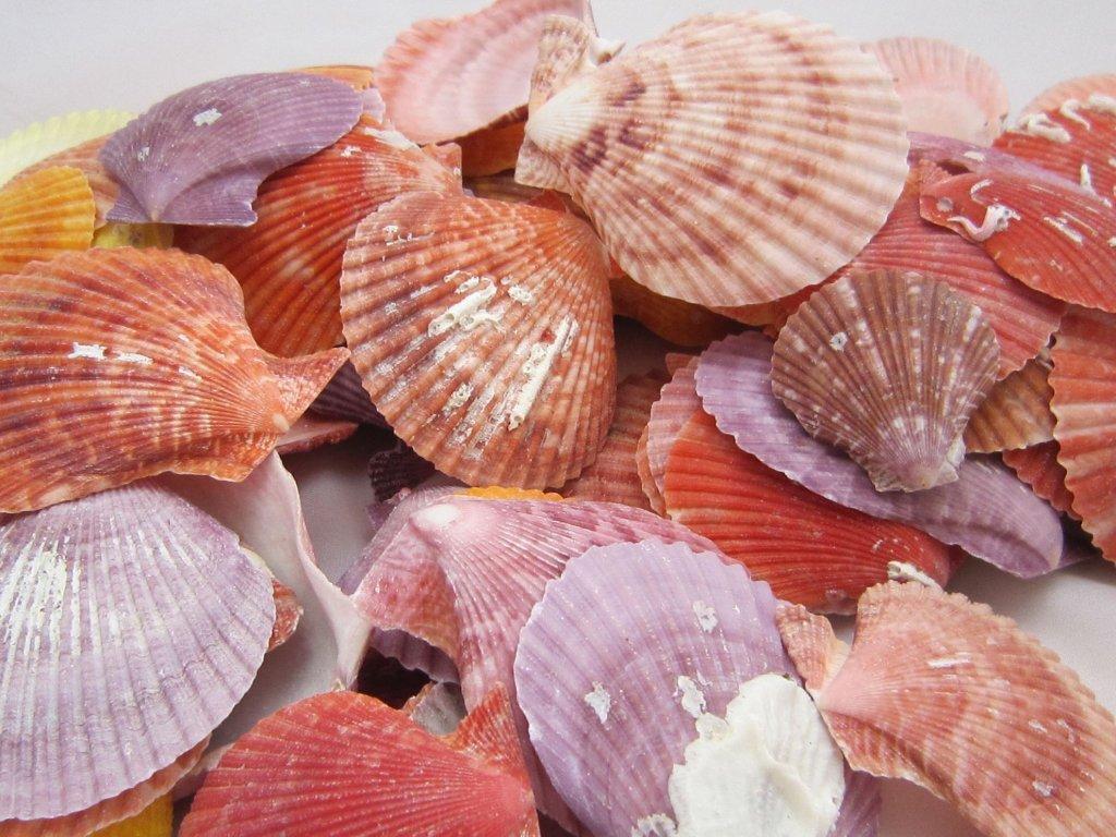 0006764 musle pecten nobilis color 100 g