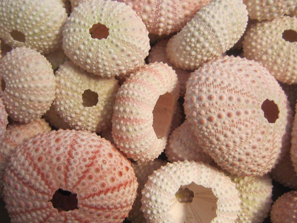 Alfonso urchin růžový 36 ks