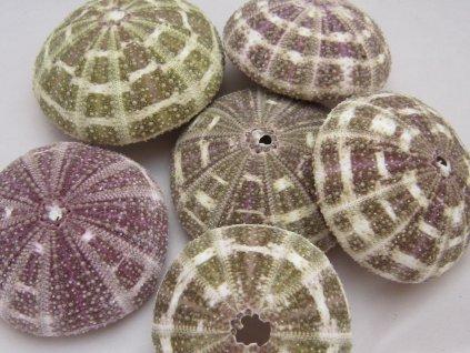 0006818 musle alfonso urchin 9 ks