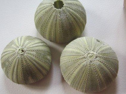 0011583 musle alfonso urchin zeleny nahac 1 ks