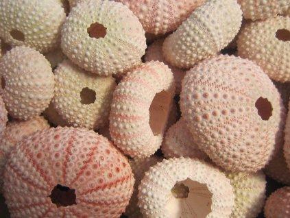 Alfonso urchin růžový 1 ks