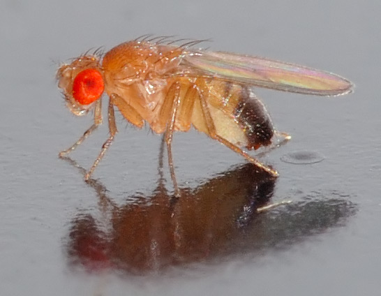 Drosophila_melanogaster-octomilka-jak-se-zbavit