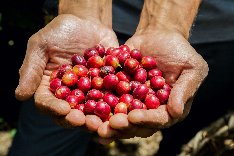 Zpracování kávy: proč na něm záleží?