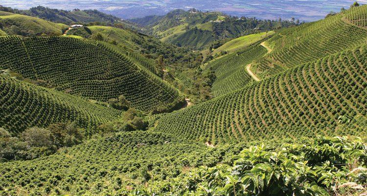 Peru-coffee-plantation-750x400
