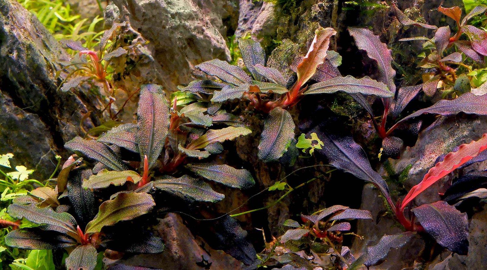 Najvhodnejšie rastliny pre akvárium s krevetkami