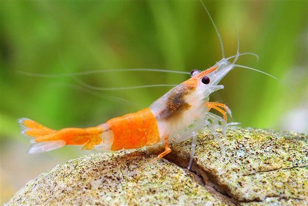 "Fakty o krevetkách: Orange Shrimp Neocaridina Davidi var. ""Rili"""