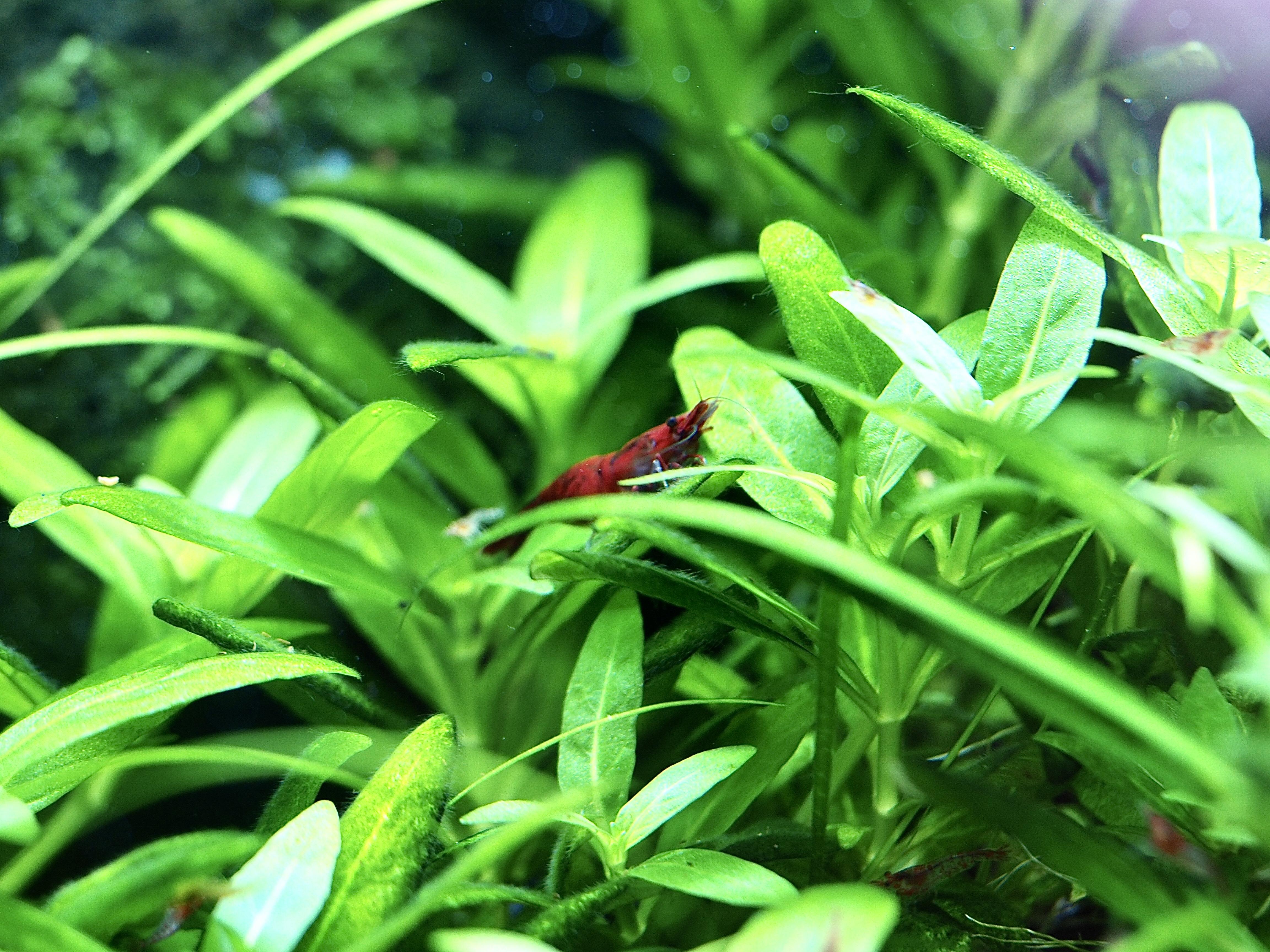 Ako meniť vodu v akváriu s krevetkami