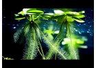 Plávajúce akváriové rastliny