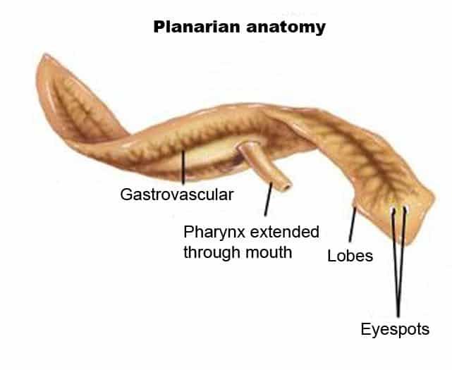 Planaria-anatomy