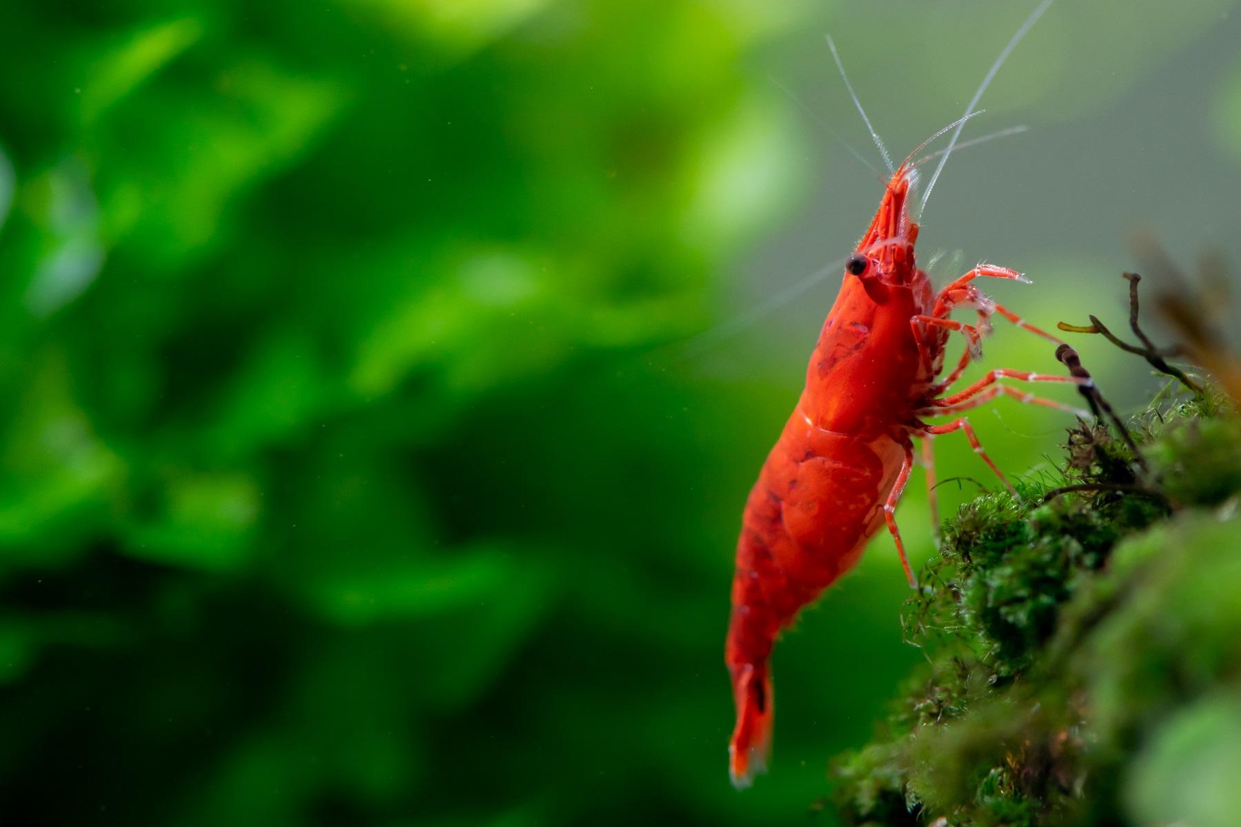 Fire-Red-Shrimp