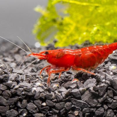 fire-red-cherry-shrimp-11773412409425_400x400_crop_center