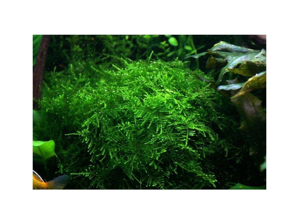 TAIWAN MOSS Taxiphyllum alternans