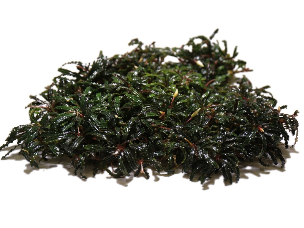 bucephalandra belindae 11774622466129