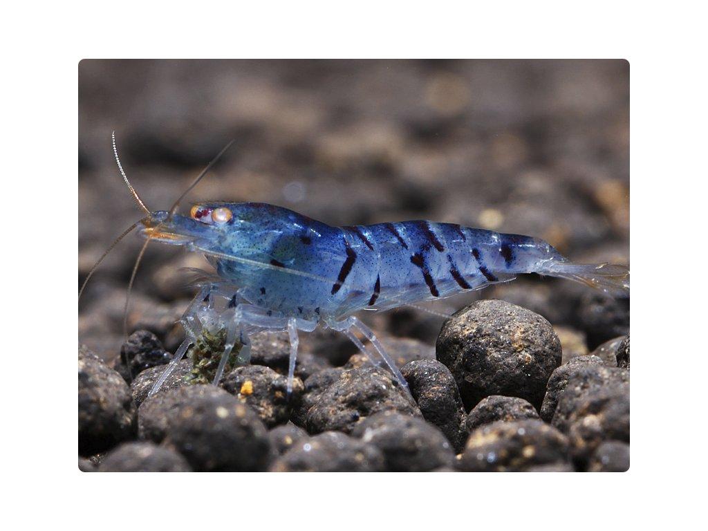 caridina cf cantonensis blue tiger