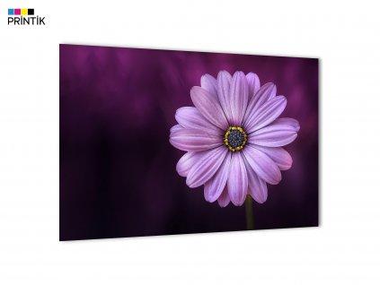 Obraz - Fialový květ